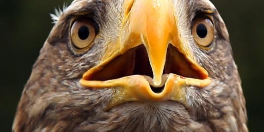 Eagle-Head